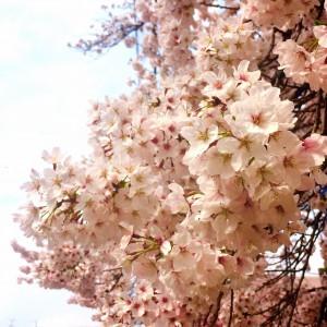 桜の季節ですねぇ